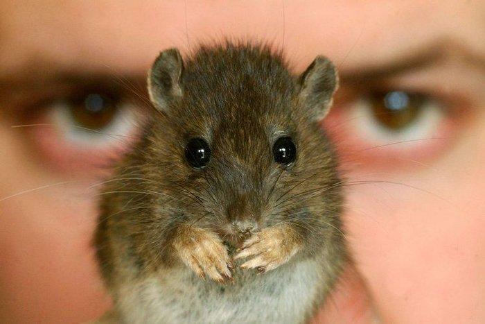 Несколько фактов о крысах (20 фото)