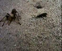 Битва тарантула и осы