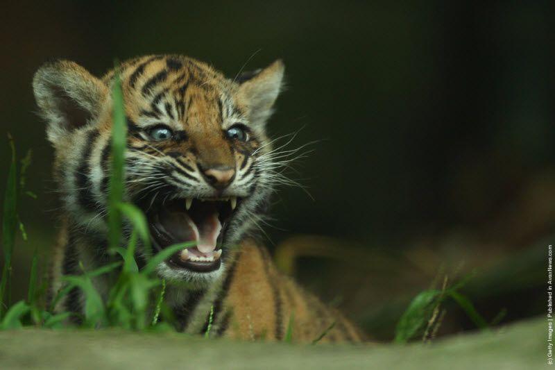 злые тигрята картинки глубине наметившейся