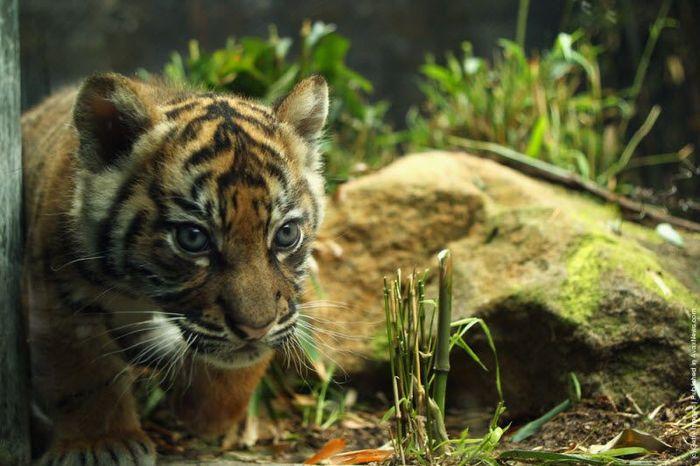 Тигрица с малышами в зоопарке (17 фото)