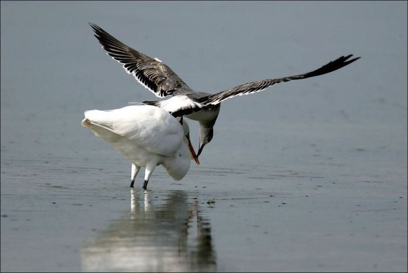 Подлая чайка (3 фото)