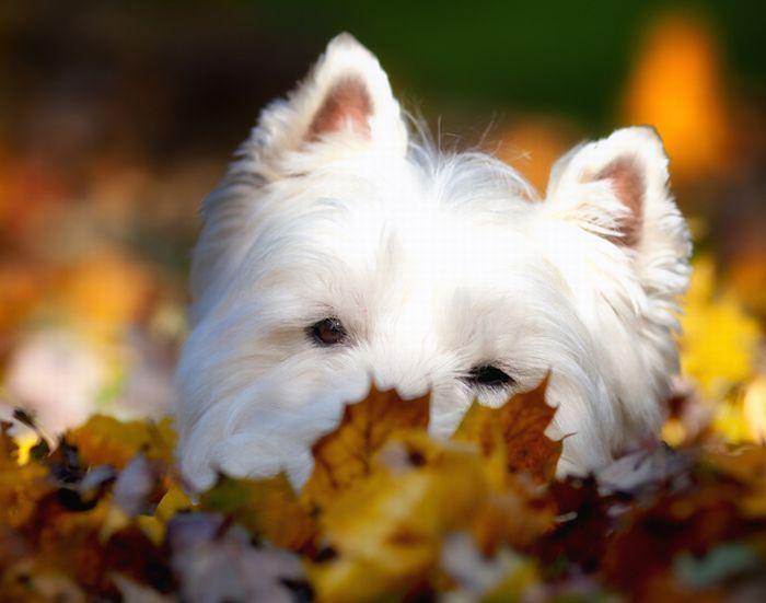 Собачки играются в листьях (41 фото)