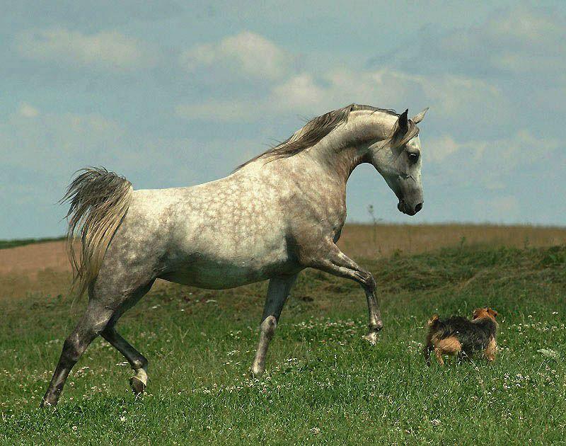 1049 Сказочная красота   арабские и андалузские лошади