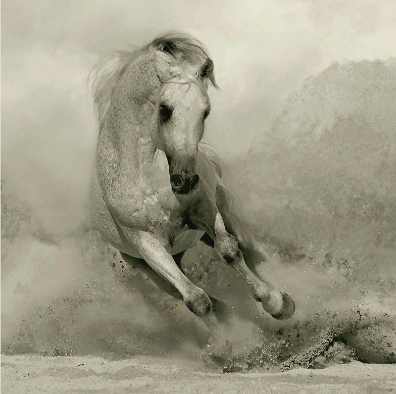 1172 Сказочная красота   арабские и андалузские лошади