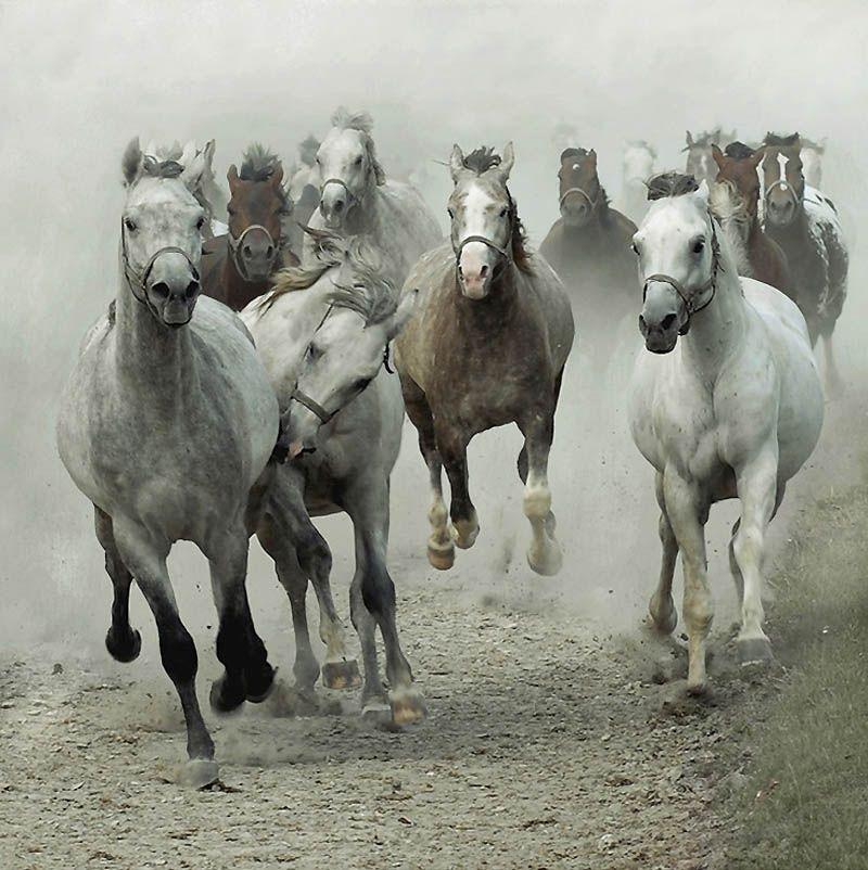 1343 Сказочная красота   арабские и андалузские лошади