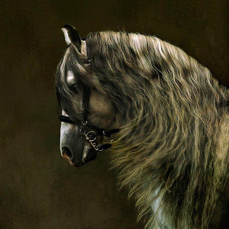 1442 Сказочная красота   арабские и андалузские лошади