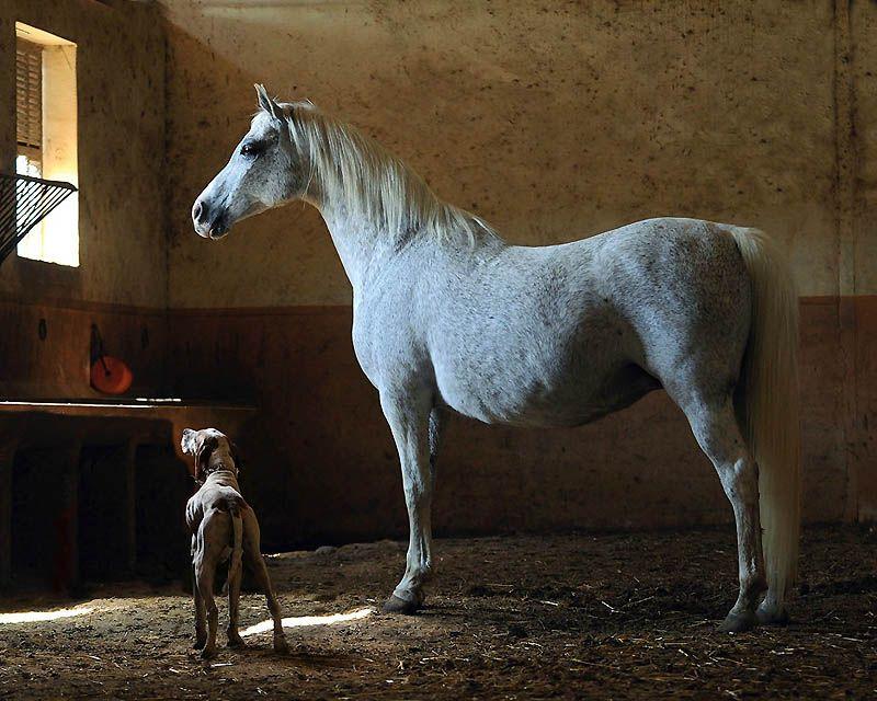 1636 Сказочная красота   арабские и андалузские лошади
