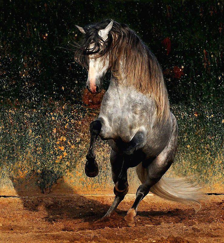 1735 Сказочная красота   арабские и андалузские лошади