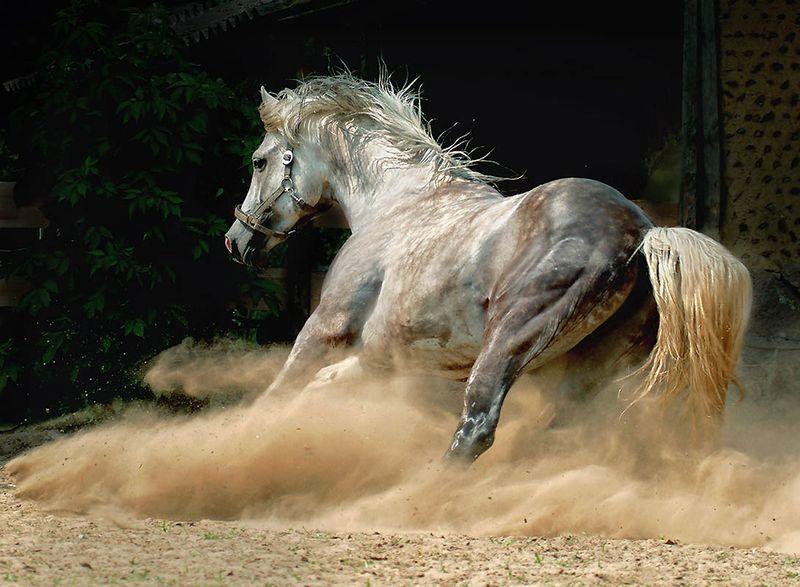 1932 Сказочная красота   арабские и андалузские лошади