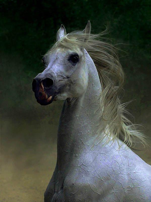 2231 Сказочная красота   арабские и андалузские лошади