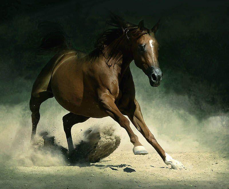 2327 Сказочная красота   арабские и андалузские лошади