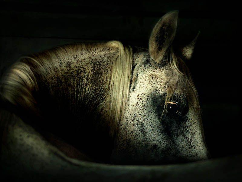 2524 Сказочная красота   арабские и андалузские лошади