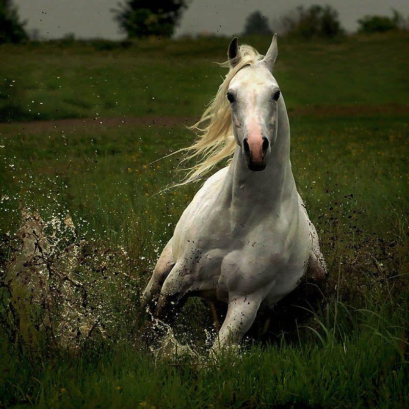 2624 Сказочная красота   арабские и андалузские лошади