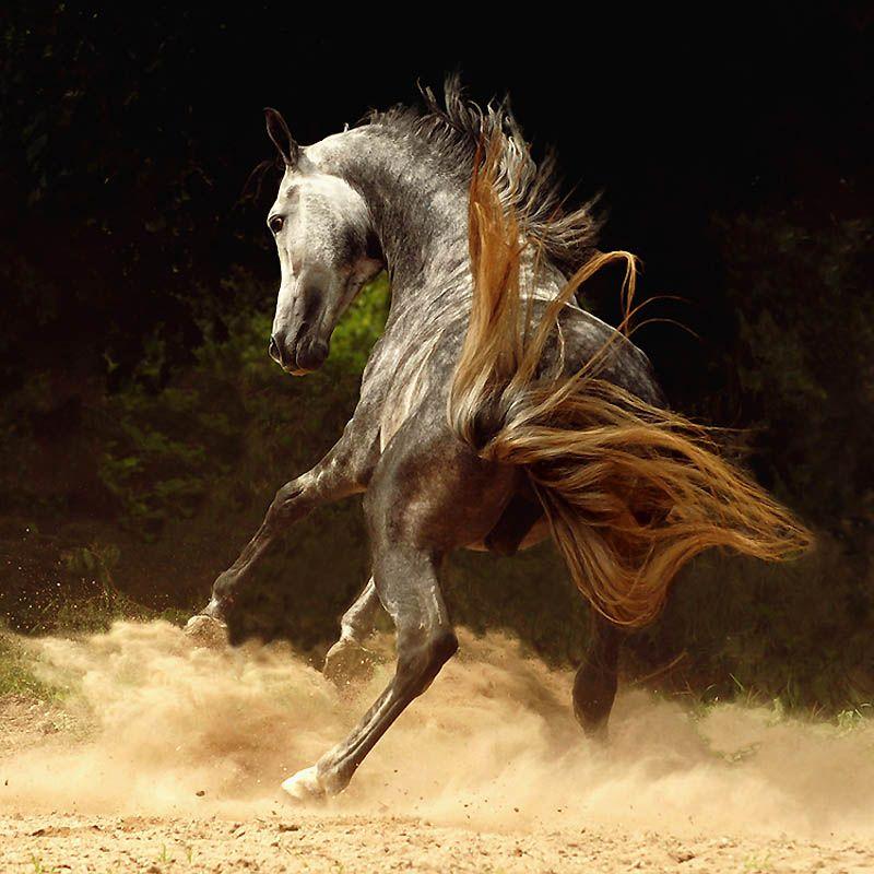 2723 Сказочная красота   арабские и андалузские лошади