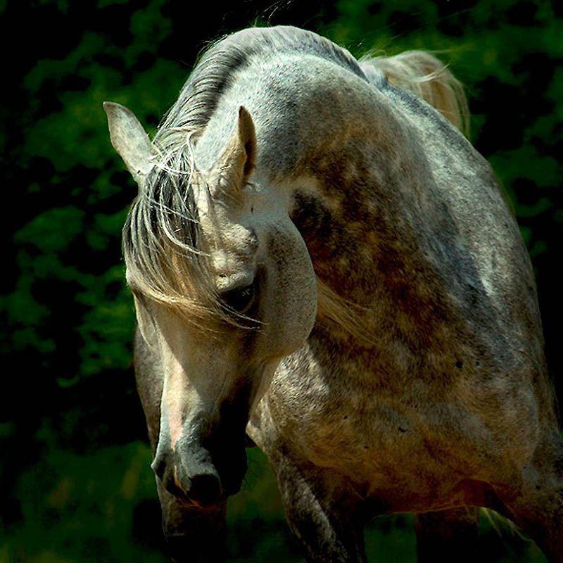 2823 Сказочная красота   арабские и андалузские лошади