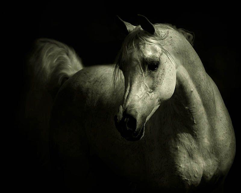 3138 Сказочная красота   арабские и андалузские лошади