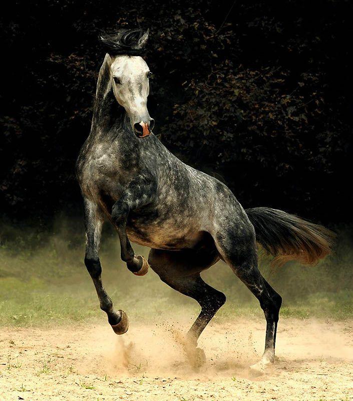 3220 Сказочная красота   арабские и андалузские лошади