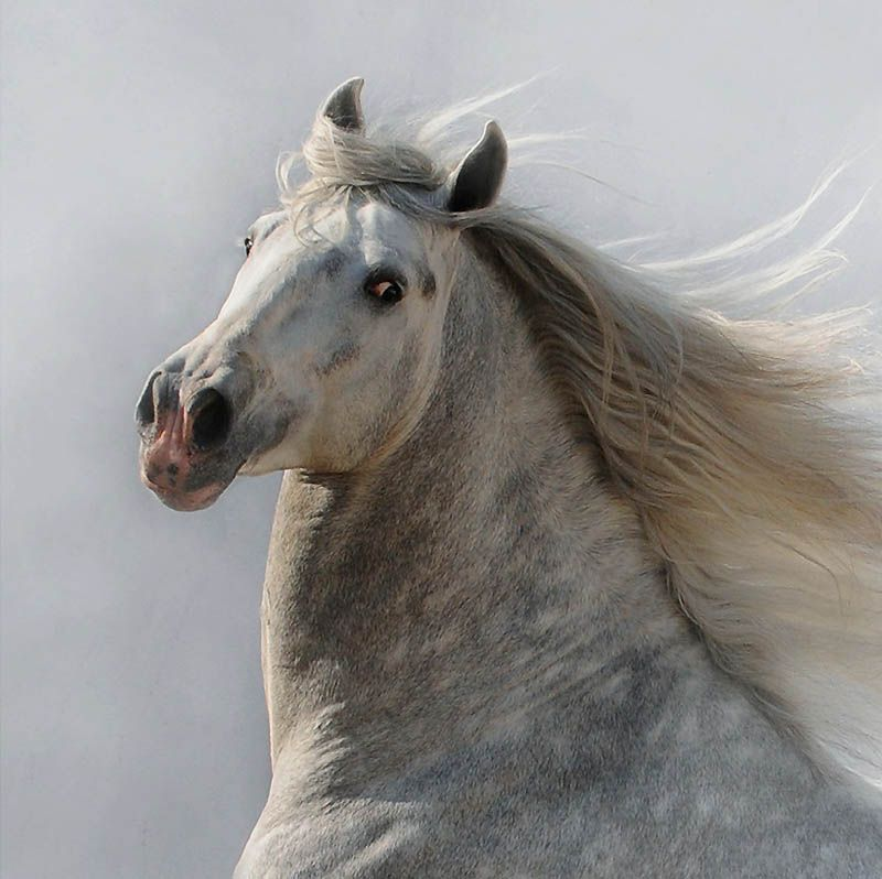 3417 Сказочная красота   арабские и андалузские лошади