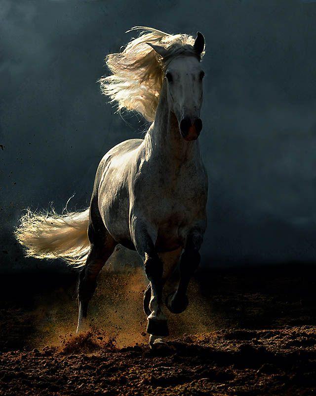 3616 Сказочная красота   арабские и андалузские лошади