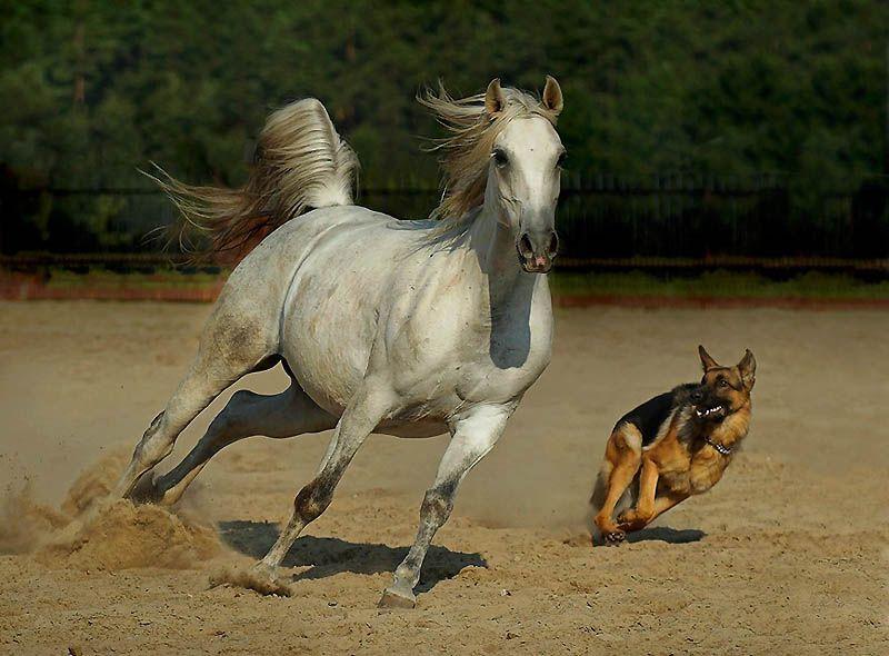 499 Сказочная красота   арабские и андалузские лошади