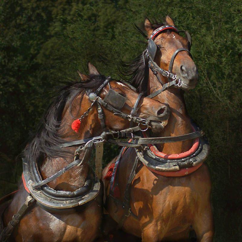 775 Сказочная красота   арабские и андалузские лошади