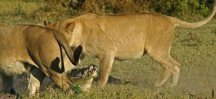 Львицы против аллигатора (9 фото)