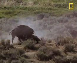 Бизоны. Жестокий животный мир