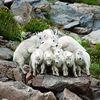 картинка - козы делают пирамиду, горные козлы на камне. козы делают пирамиду, горные козлы на камне.