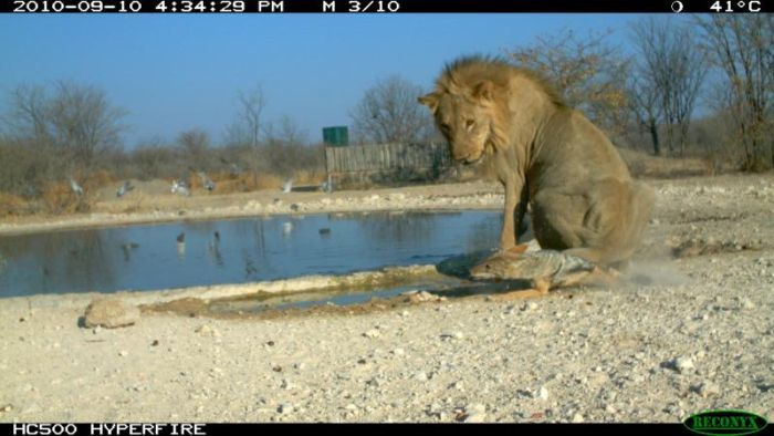 Шакал против льва (10 фото)