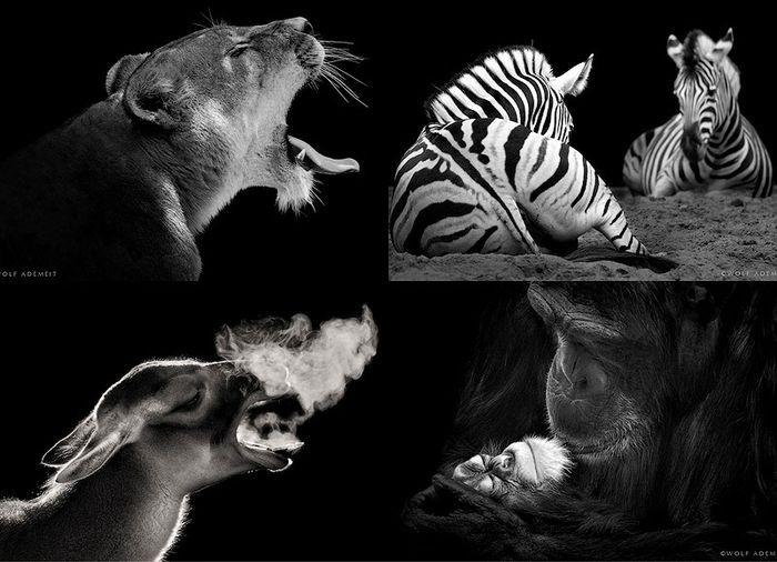 Черно-белые портреты животных в зоопарке (15 фото)