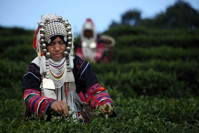 Сбор чая в Таиланде (13 фото)