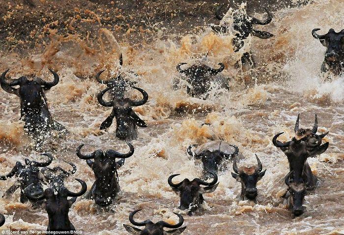 Миграция антилоп гну (4 фото)
