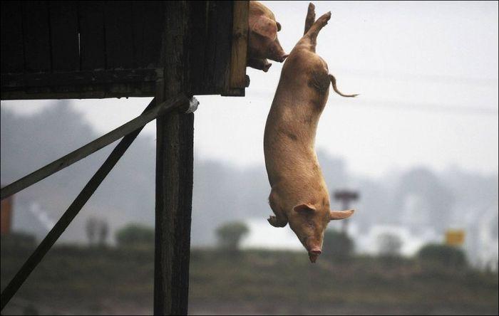 Полет свиньи (4 фото)
