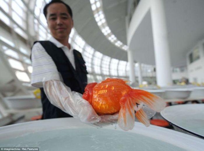 Чемпионат золотых рыбок в Китае (7 фото)