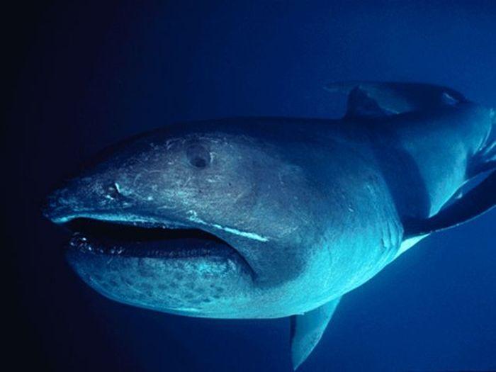 Редкая акула Megachasma pelagios (3 фото)