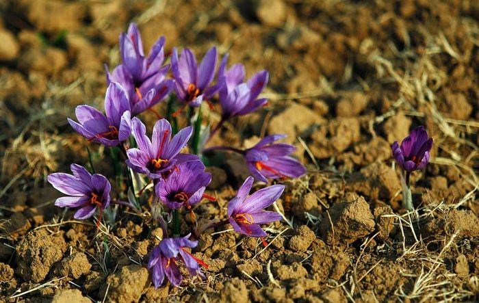 Saffron - one of the most expensive spices in the world (13 photos)