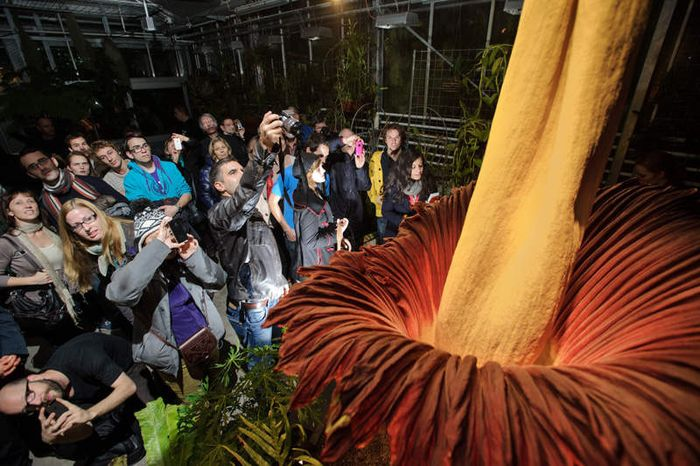 Самый большой в мире цветок (4 фото)