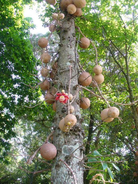 Уникальное дерево несущее опасность (7 фото)
