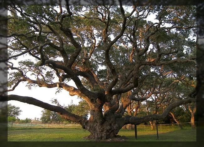 Деревья-гиганты (73 фото)