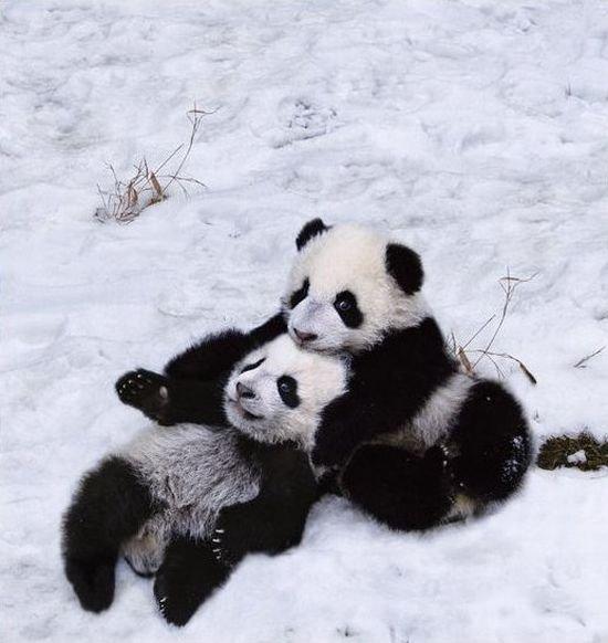 de osos panda