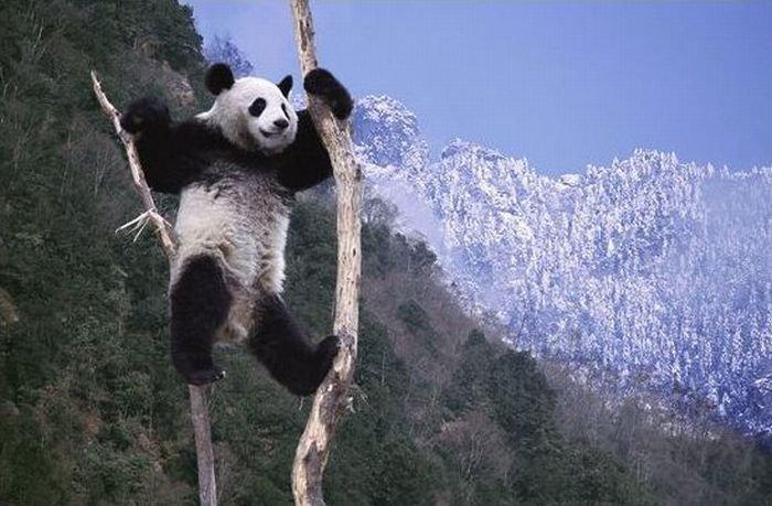 Familia de osos panda ternura extrema