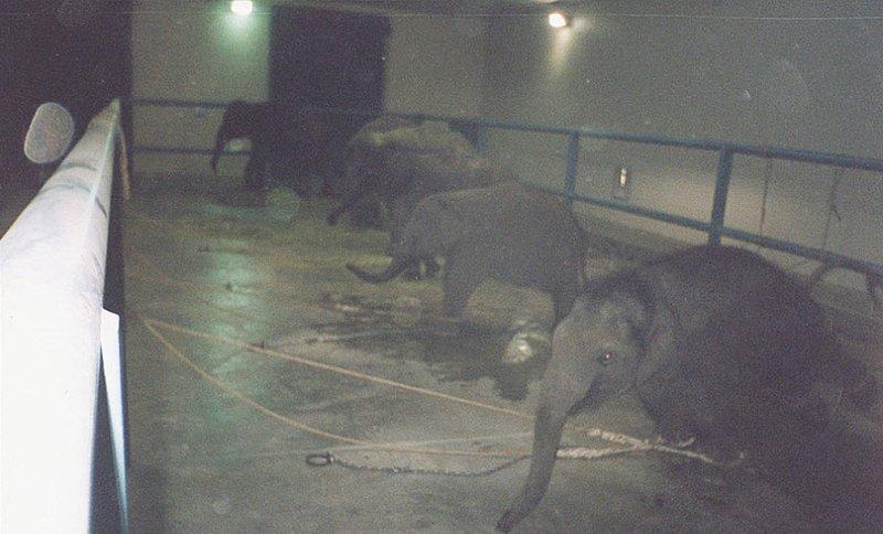 Отняв слонят от матерей, работники цирка привязывают их за все четыре лапы к бетонному полу. Слонятам не разрешают играть на свежем воздухе. Сидеть на привязи для молодого и любознательного слоненка столько времени (до 23 часов в сутки) просто невыносимо и опасно.