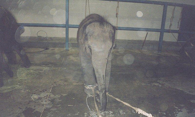 Зачастую слонята выносят болезненные уроки от попыток сопротивляться туго затянутым у них на лапах веревкам. Иногда их сопротивление может длиться несколько месяцев, после чего они сдаются.