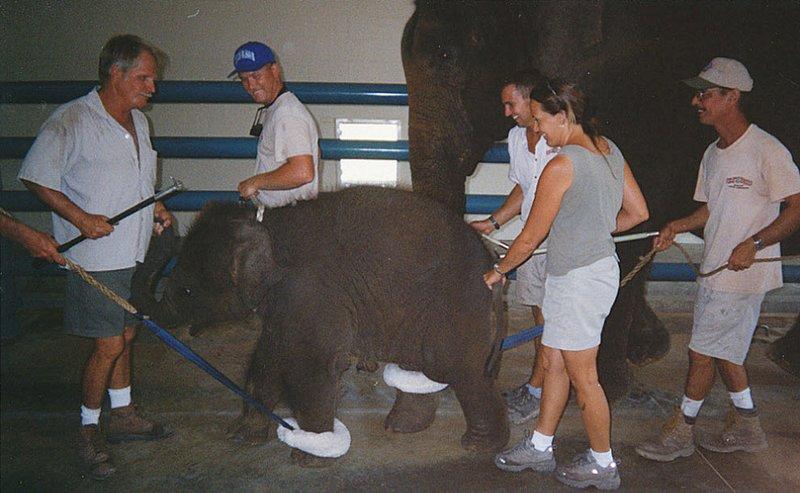 Слоненка привязывают к другому взрослому слону и выгуливают их вместе в амбаре.