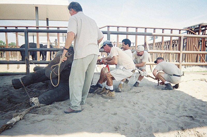 Слонята кричат, когда их заставляют садиться на шпагат, валят на землю и бьют электрошоком.