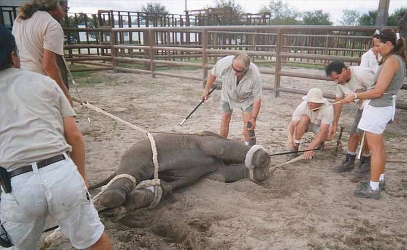 На этой фотографии слоненка учат ложиться по команде.