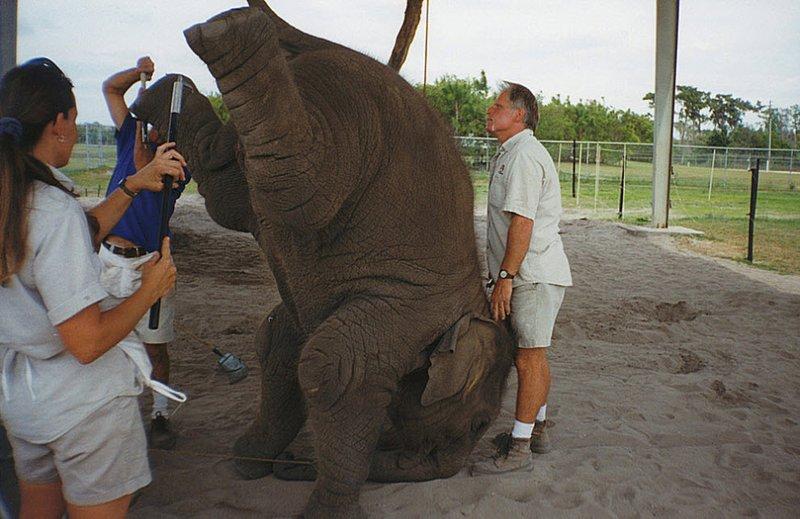 Слоненка учат стоять на голове.