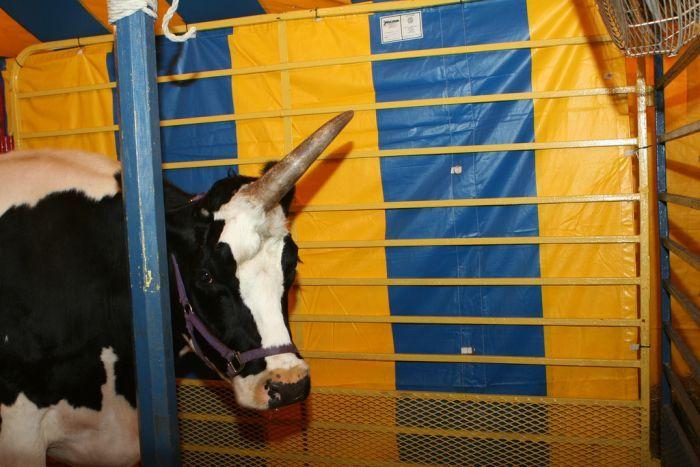 Корова-единорог (6 фото)