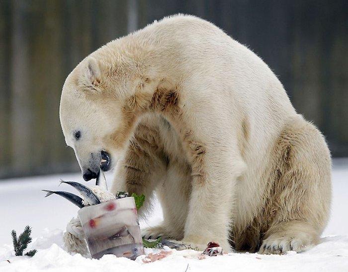 Белый медведь Кнут отметил четырехлетие (7 фото)