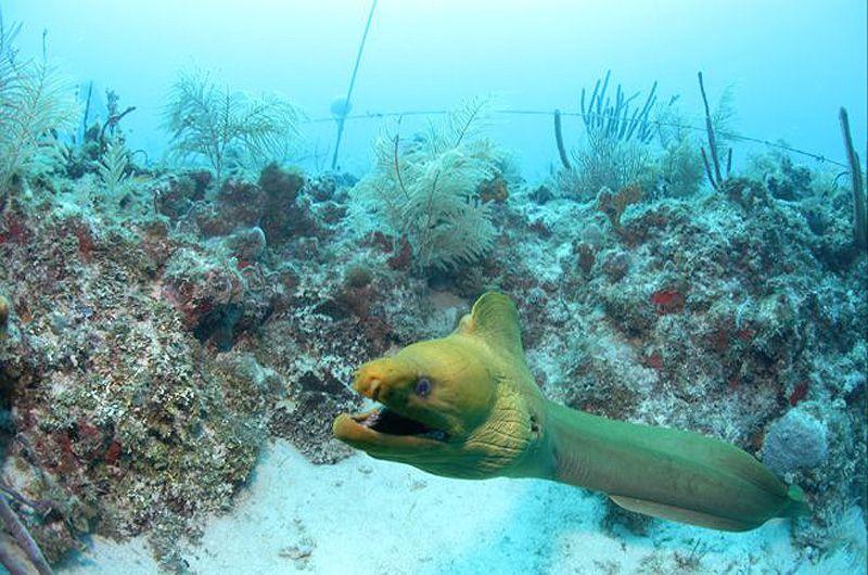 Во время прошлого выхода за пределы лаборатории ученые провели много времени, заделывая отверстия в клетках. Когда рыб впервые помещают в клетку, она впадают в угнетенное состояние. Это привлекает акул и других хищников, например мурен (на фото). «Мурена может пробивать клетку подобно ракете», – рассказывает доктор Хэй.
